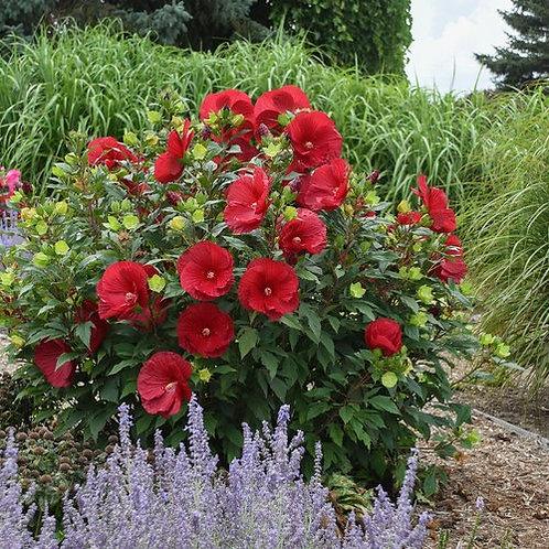 Perennial Hibiscus 'Cranberry Crush'