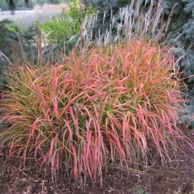 Miscanthus sinensis 'Purpurascens' Flame Grass