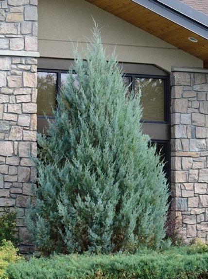 Juniperus scopulorum 'Wichita Blue' Juniper