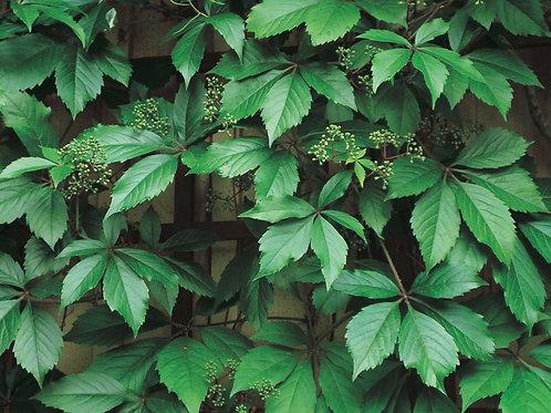 Engelman's Ivy Vine