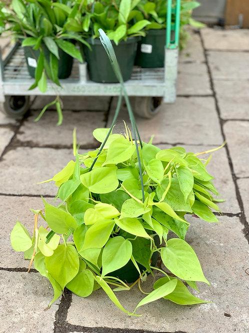 Philodendron Cordatum Lemon Hanging Basket