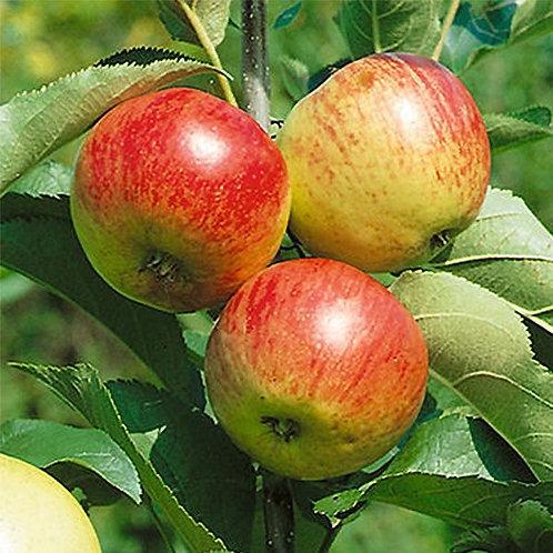 Malus domestica 'Liberty' Apple Tree