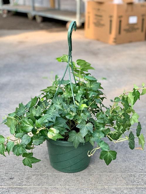 Green Ivy Hanging Basket