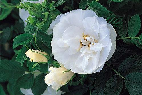 Rose 'Blanc Double de Coubert' Rose Bush
