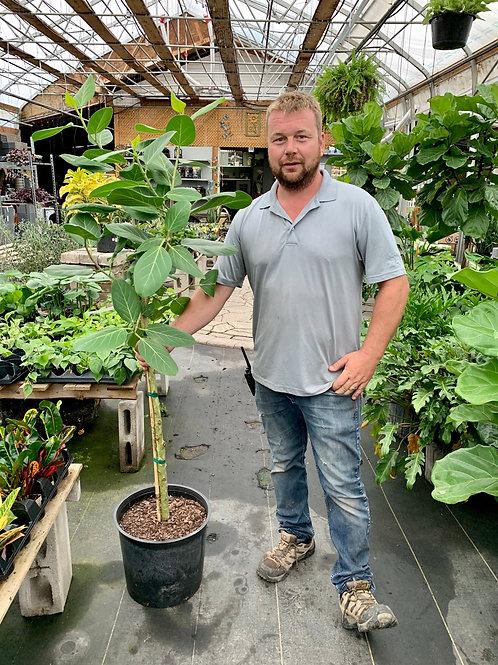 Ficus 'Audrey' Standard