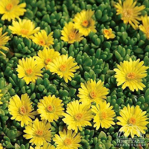 Delosperma Solstice 'Yellow'