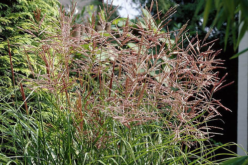 Miscanthus sinensis 'Nippon' Japanese Silver Grass
