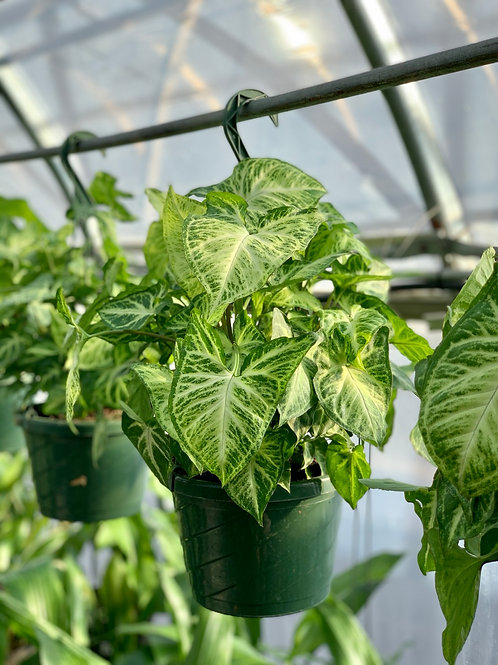 Syngonium 'White Butterfly' Hanging Basket