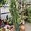 "Thumbnail: 14"" Large Trigona Cactus"