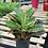 Thumbnail: Croton 'Petra'