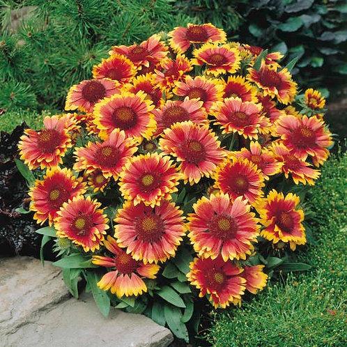 Gaillardia aristata 'Arizona Sun' Blanket Flower