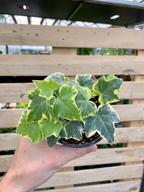 English 'Glacier' Ivy