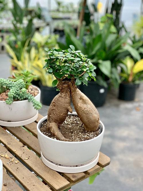 Ficus Retusa - Bonsai Tree
