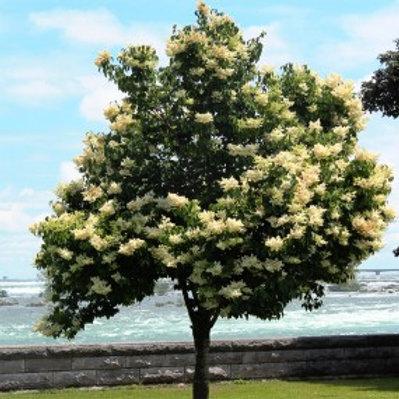 Syringa reticulata 'Ivory Silk' Lilac