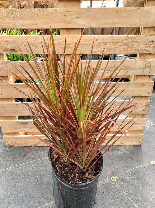 Dracaena 'Colorama' Bush