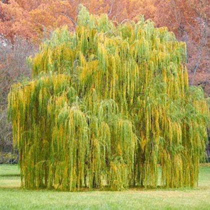 Salix 'Golden Curls' Willow