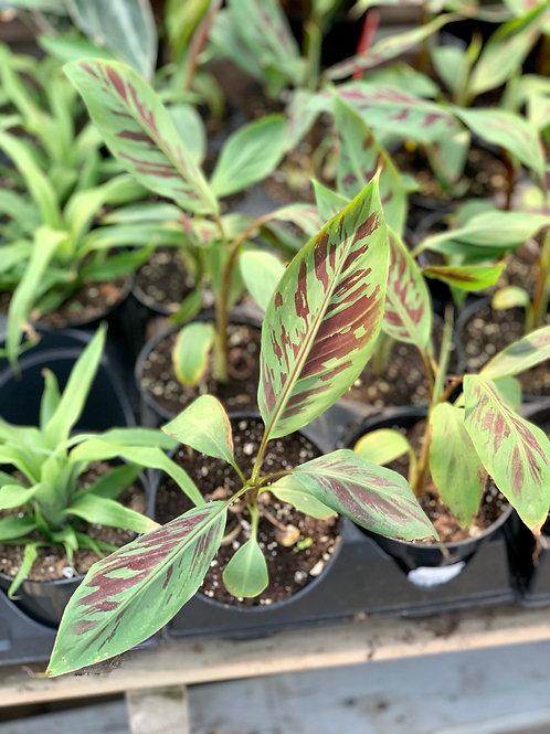 Musa 'Zebrina Rojo' Banana Plant