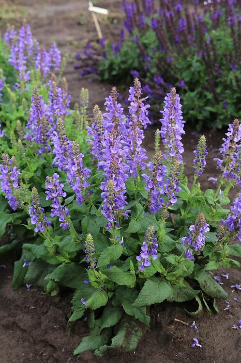 Salvia 'Blue Marvel'