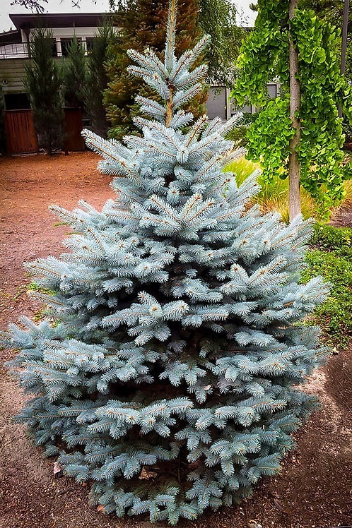 Picea pungens Baby Blue Spruce