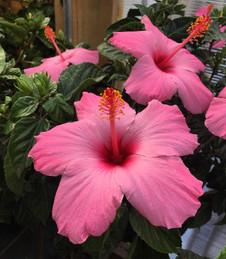 Hibiscus Tropical Plants