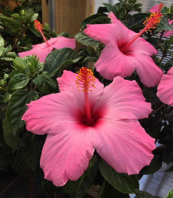 Hibiscus Tropical Plants