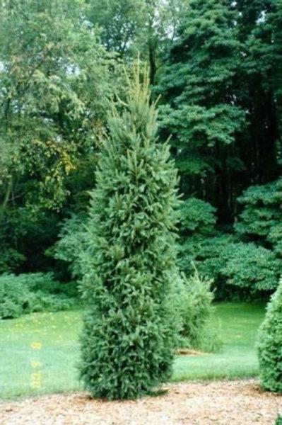 Picea mariana 'Fastigiata' Spruce