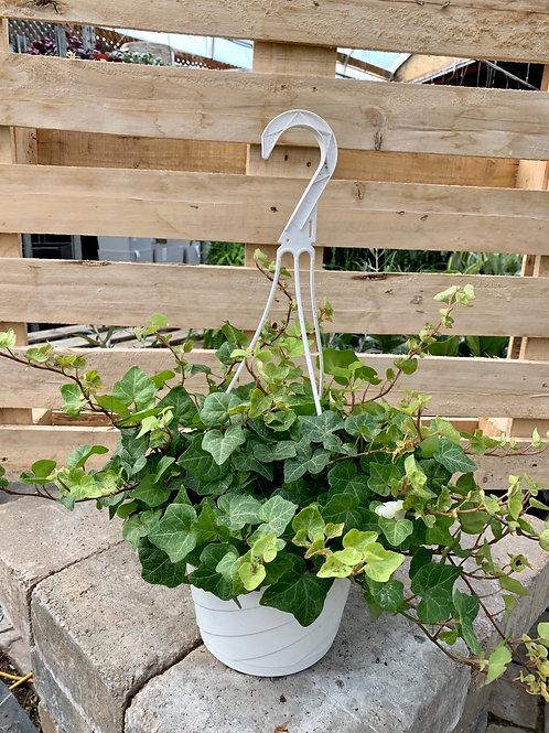 Pittsburgh Green Ivy Hanging Basket