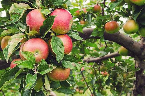 Malus domestica 'Honeycrisp' Apple Tree