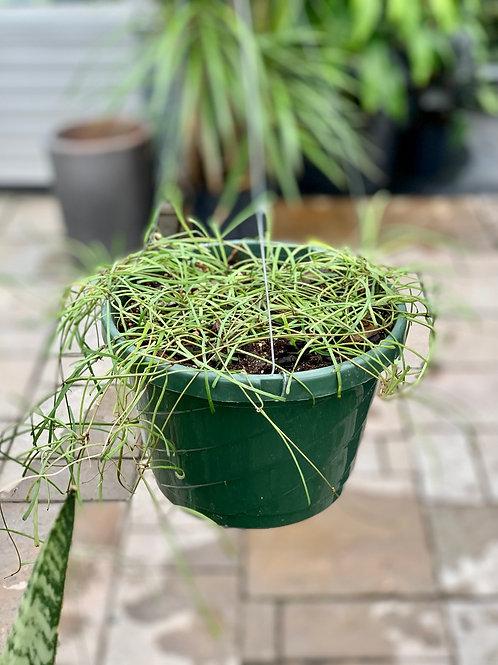 Hoya Retusa Hanging Basket