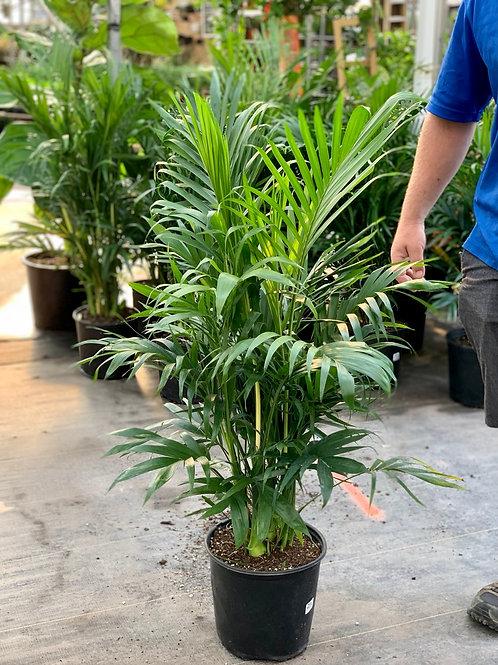 Cataractarum Palm (Cat Palm)