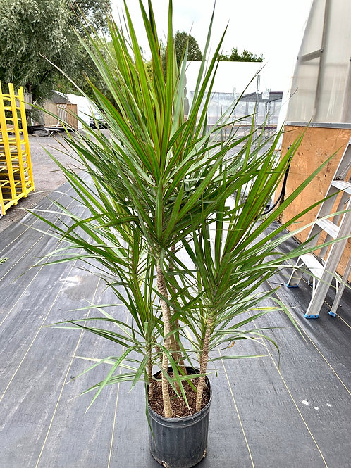Dracaena 'Marginata Staggered'