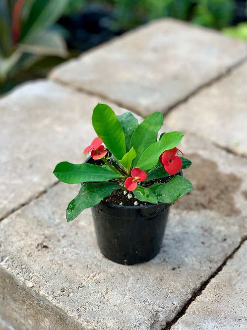 Euphorbia 'Milii' Crown of Thorns