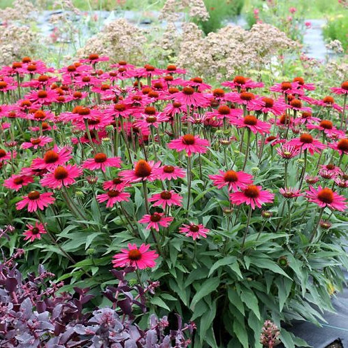 Echinacea 'Kismet Raspberry'