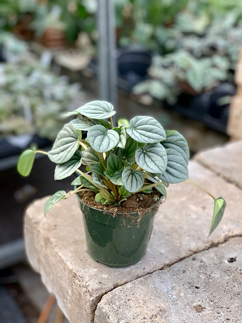 Peperomia 'Frost'