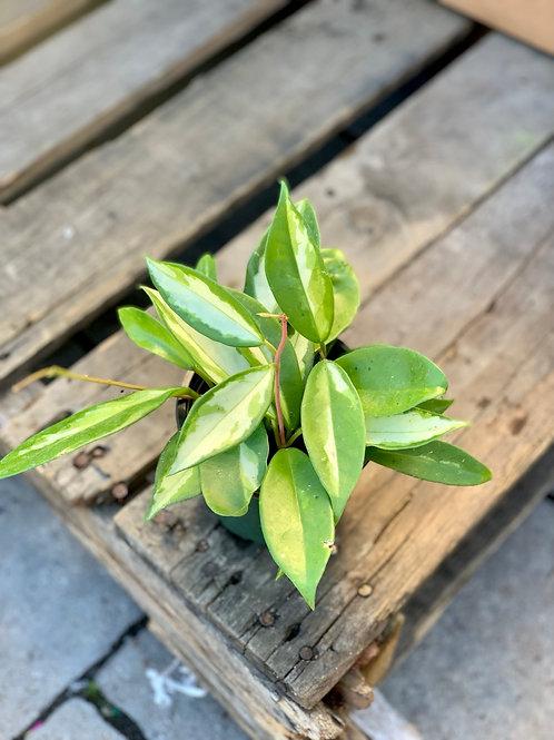 Hoya Carnosa Tricolor 'Krimson Princess'