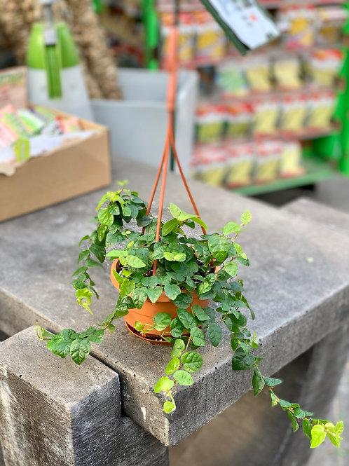 Ficus Pumila Hanging Basket