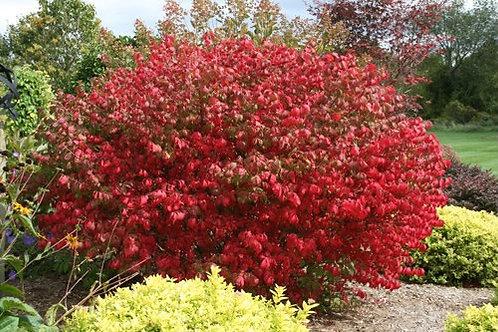Euonymus 'Compactus' Dwarf Burning Bush