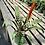 Thumbnail: Bromeliad Vriesea