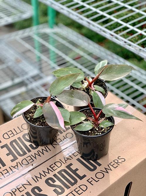 "6"" Philodendron Pink Princesz"
