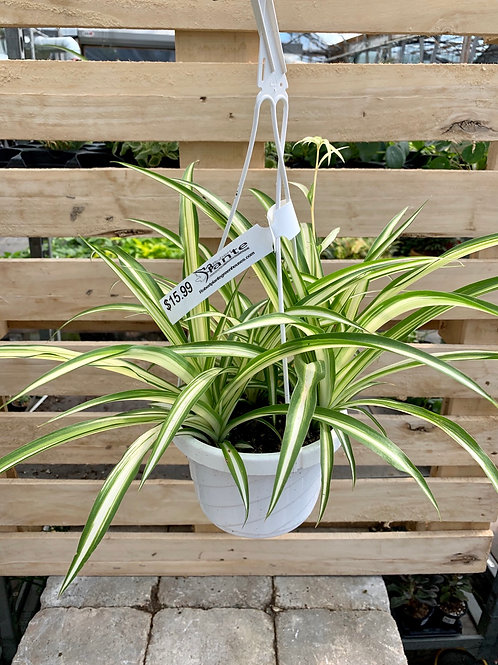 Variegated Spider Plant Hanging Basket