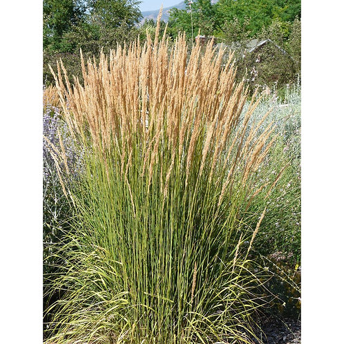 Avalanche Reed Grass