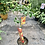 Thumbnail: Small Grapefruit Tree