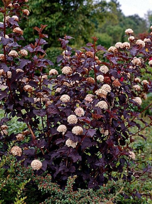Physocarpus opulifolius 'Mono' Diablo Ninebark
