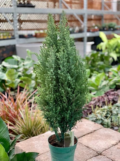 Europeen Cypress
