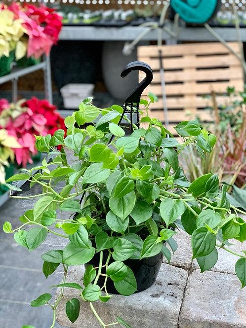 Peperomia Scandens Hanging Basket