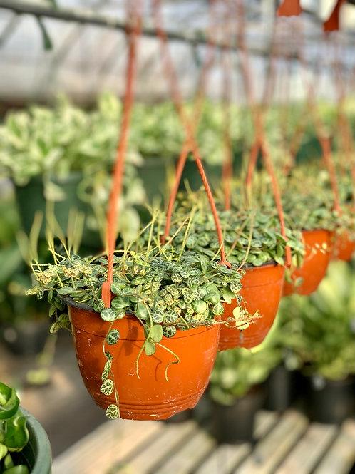 Peperomia 'Prostrata' String of Turtles Hanging Basket