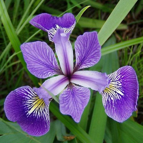 Iris veriscolor