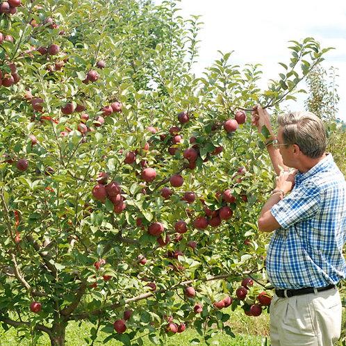 Malus domestica 'Empire' Apple Tree
