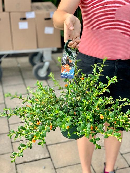 Hypocyrta 'Goldfish Plant' Hanging Basket