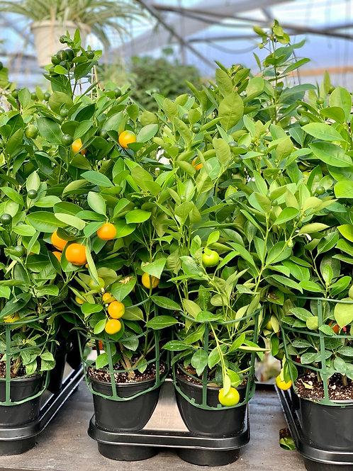 Calamondin Orange Bush
